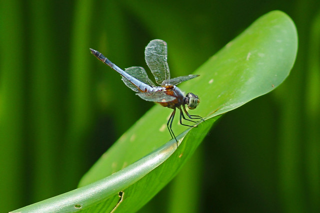 IMG_9101_Dragon Fly_2., Canon EOS 600D, Canon EF-S 55-250mm f/4-5.6 IS II