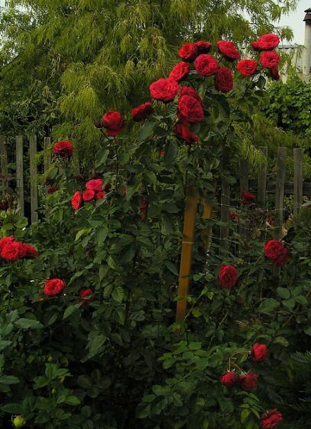 Khá nhiều giống hoa hồng cắt cành ngoại nhập khi tôi tìm thông tin về chiều cao thì thấy rằng cây trồng thực tế khi trồng ở vườn có những giống hoa hồng có chiều cao lớn hơn thông tin trên net đã đăng. Ví dụ thông tin trên helpmefind đăng cây hồng có chiều cao 80-100cm, nhưng khi trồng thực tế có thể cao gần 2m. Như tấm hình cây hồng Red Piano này có thể đã có chiều cao trên 1m5 khi để tự nhiên.