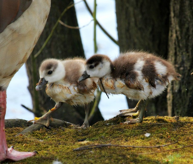 Goslings, Canon EOS 550D, Canon EF-S 55-250mm f/4-5.6 IS STM