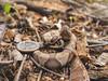 Copperhead (Agkistrodon contortrix)