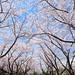 桜のアーチ by * Yumi *