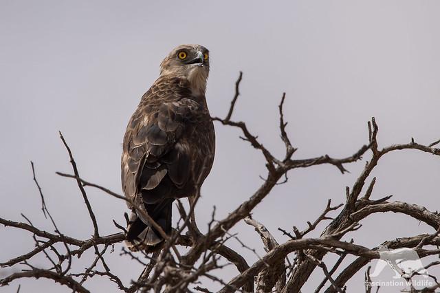 Brown Snake Eagle, Nikon D4S, Sigma 150-600mm F5-6.3 DG OS HSM | S