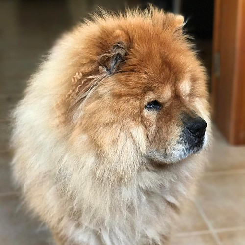 Cute Damián!! #dog #chowchow @cutechowchows