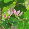 Honeysuckle buds. #signsofspring