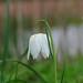 Fritillary - Fritillaria meleagris (White form)