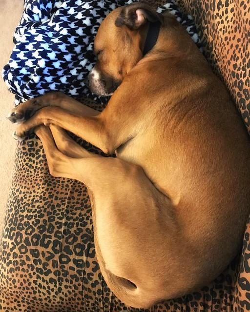 Baby Bear #dogs #boxerdog