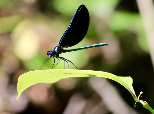 Ebony jewelwing male damselfly