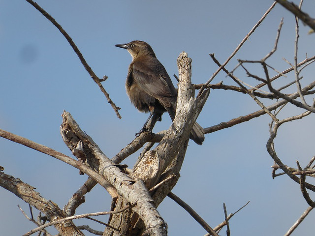 Great tailed Grackle (f), Panasonic DMC-ZS50
