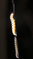 Spindle ermine larva