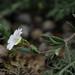 Field Mouse-ear - Cerastium arvense