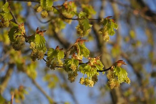 Buchenblüten (Fagus sylvatica); Bergenhusen, Stapelholm (47)