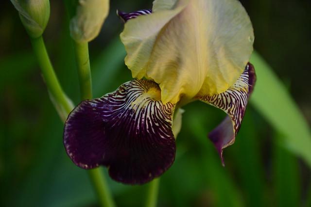 Iris 'Salonique' - F. Cayeux 1923 33716602494_7b6af17e89_z
