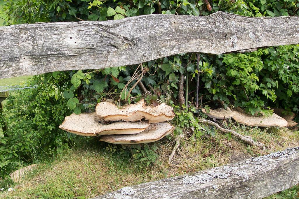 Bracket Fungus Knockholt Circular