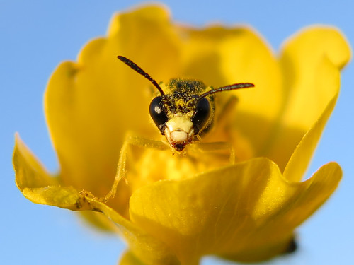 Sawfly settled into a buttercup flower to spend the night