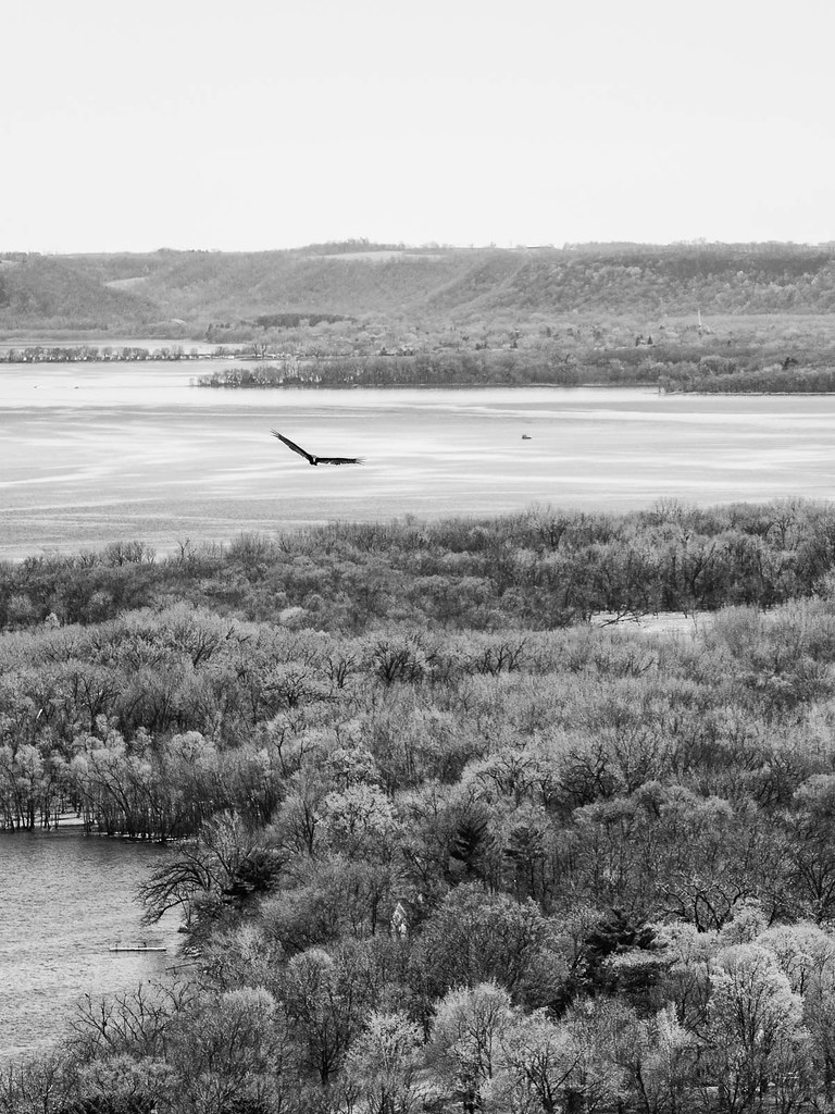 Turkey Vulture over old Frontenac