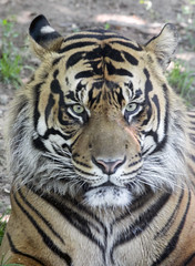 Smithsonian National Zoo  (1038)Sumatran Tiger