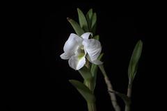 Dendrobium schuetzei (Mindanao, Philippines) Rolfe, Orchid Rev. 19: 224 (1911)