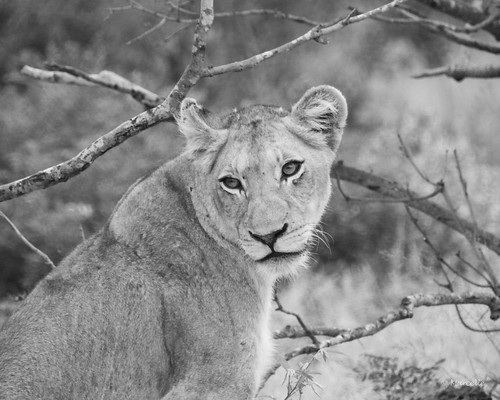 krugernationalpark southafrica lion wildlife wildlifephotography wildcat safari