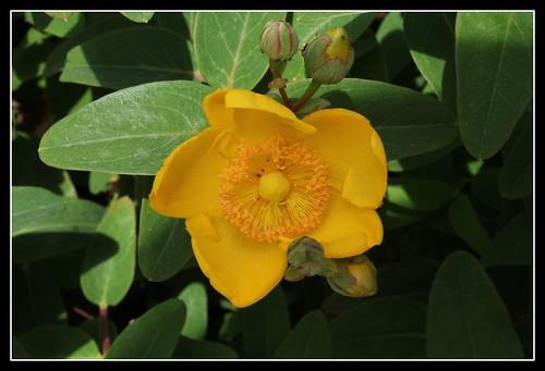 Hypericum hookerianum 'Hidcote' (= Patulum 'Hidcote') 34209033800_823cc41f4a