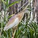 Squacco Heron (Judith Rolfe)