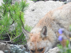 3rd  may 2017 Foxes 027