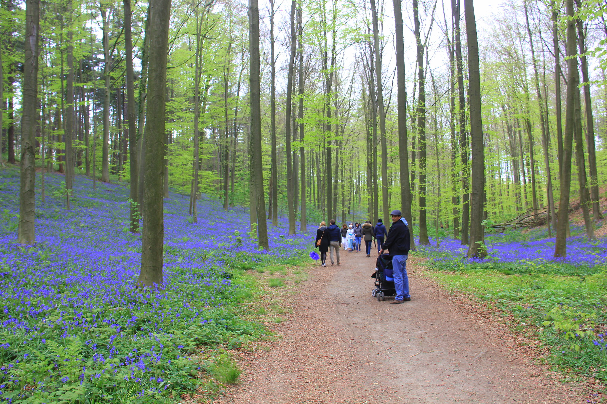 hallerbos is very popular during spring