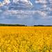 The golden fields by Majorimi