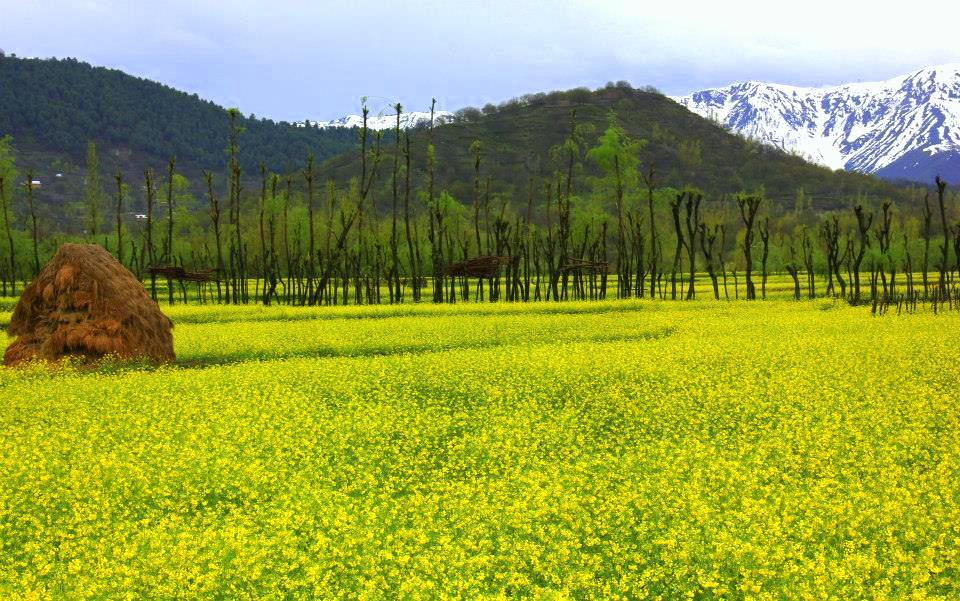 mustard fields bloom with flowers during kokernag spring