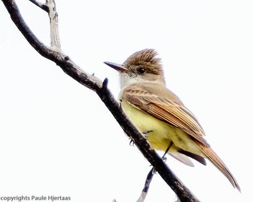 animal arizona bird dcfl duskycappedflycatcher millercanyon myarchustuberculifer usa flycatcher
