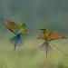 雙展翅/2017金門栗喉蜂虎(Blue-tailed Bee-eater) by 安頭(金門)