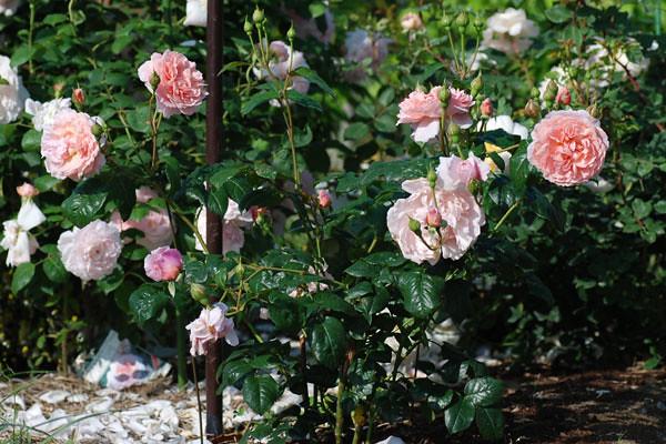 Một bụi hoa hồng Strawberry Hill rose nở hoa rực rỡ và có bộ lá xanh bóng khi trồng ở xứ lạnh. Nguồn ảnh: sưu tầm