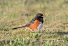 Banded Spotted Towhee