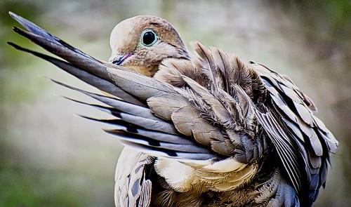 mourningdove feathers birds nature johnhenrygremmer