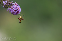 Broad-bordered Bee Hawk-moth / Glasvleugelpijlstaart (Hemaris fuciformis) - Photo of Limbrassac
