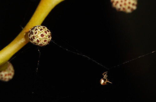 Tiny spider and Golden Wattle flower bud
