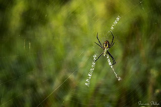 Orb Spider with his prey