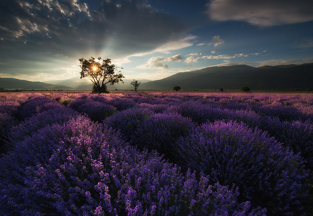 Lavender in Bulgaria, Nikon D800E, AF-S Zoom-Nikkor 14-24mm f/2.8G ED