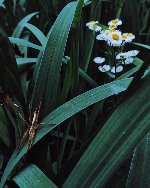 #️#�� #spider 非常罕见的大蜘蛛(左下角)白褐色相间,水滴形,有腰。#菊#一年蓬#千层塔#flower#shanghai#上海#daisy#vscocam#vsco#夏#夏天#summeriphoneonly#竹园绿地