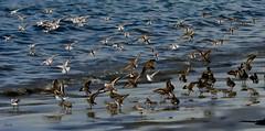 Touchdown Sanderlings--in explore
