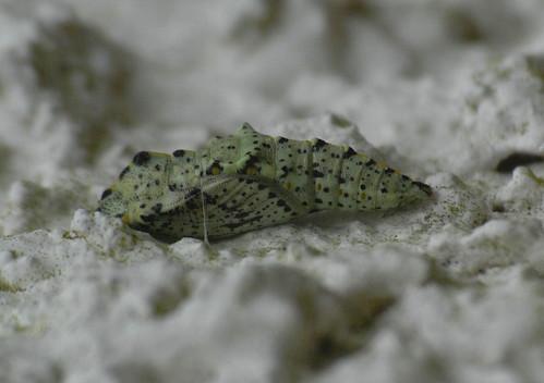 Large White pupa