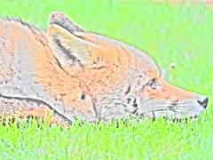 3rd  may 2017 Foxes 054