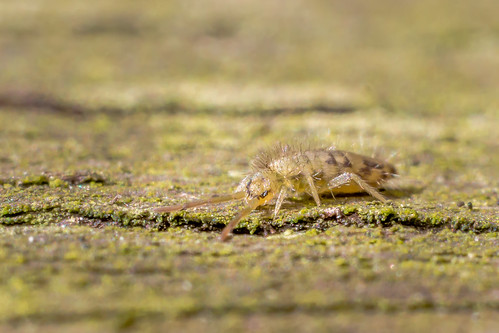 Sun, 04/30/2017 - 09:49 - Springtail, Probably Species Entomobrya nivalis