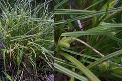 Carex lurida Wahlenb. shallow sedge