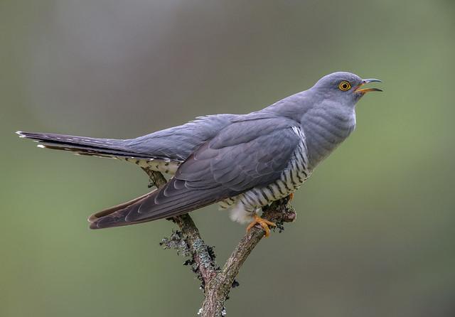 Cuckoo, Male, Calling-, Nikon D810, AF-S VR Nikkor 600mm f/4G ED