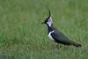 Lapwing, Vanellus vanellus by Kevin B Agar