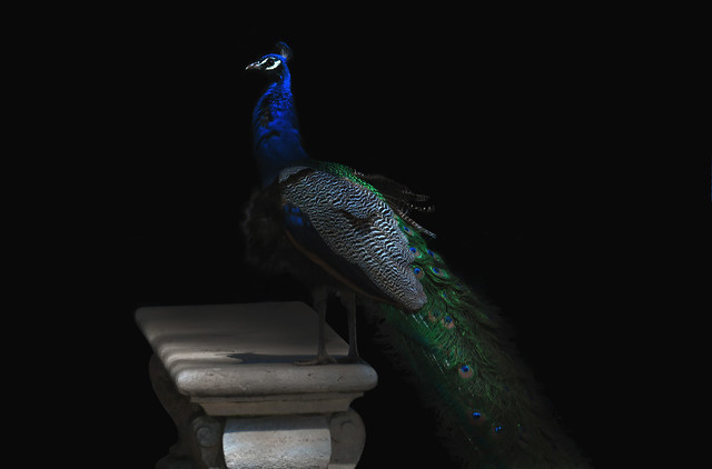 Pavo Real / Peacock in Parque Retiro, Madrid (2017)