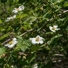 1705 Raspberry flowers in the Canada del Oro
