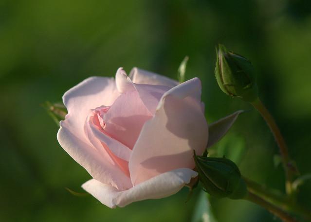 A rose for my, Nikon D7000, AF-S VR Micro-Nikkor 105mm f/2.8G IF-ED