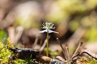 大菩薩嶺北斜面に咲くバイカオウレン1