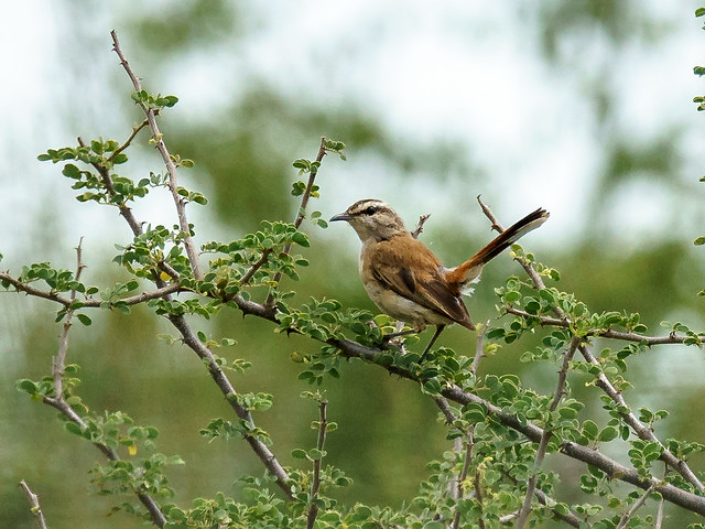 Kalahari Scrub-robin (Cercotrichas paena)